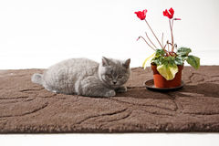 Kitten in the livingroom. British Shorthair baby lurking near a pot of flowers Stock Images