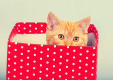 Kitten look out of the gift box Stock Photography