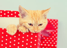 Kitten look out of the gift box Royalty Free Stock Images