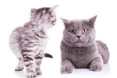 Kitten looking at an adult cat Royalty Free Stock Image