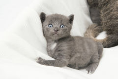 Kitten looking at the camera Royalty Free Stock Photography