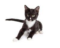 Kitten Looking Forward preto e branco alerta fotos de stock