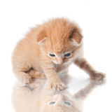 Kitten looking on his reflection isolated Stock Image