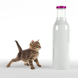 Kitten looking onto huge bottle of milk Royalty Free Stock Photo