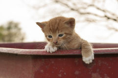 Kitten looking over wagon Royalty Free Stock Photo