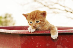 Ginger kitten in a red wagon Royalty Free Stock Images