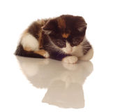 Kitten looking at reflection Royalty Free Stock Images