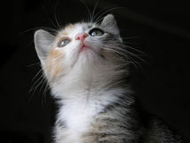 Kitten Looking Up Stock Photo