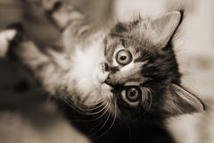 Kitten looking up. Closeup of a kitten looking up. Warm toned black and white image stock images
