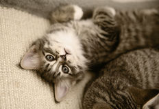 Kitten looking up. Cute fluffy tabby kitten looking up from her cage royalty free stock image