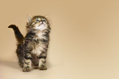 Kitten Looking Up Stock Images