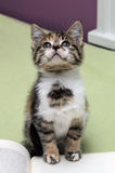 Kitten Looking Up From Book Royalty Free Stock Photography