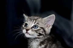 Kitten looking up Stock Image