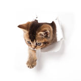 Kitten looking up in paper. Royalty Free Stock Photo