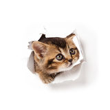 Kitten looking up in paper. Stock Photo