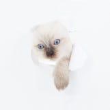 Kitten looking up in paper. Cute Ragdoll kitten looking up in paper Stock Image