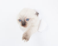 Kitten looking up in paper Stock Image