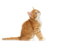 Kitten looking up Royalty Free Stock Photo