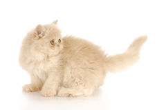 Kitten looking at wagging tail Royalty Free Stock Photos