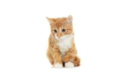 Kitten looking Stock Photography