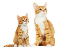 Kitten looking Royalty Free Stock Images