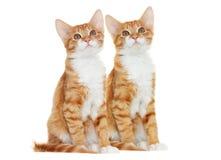 Kitten looking Royalty Free Stock Photo