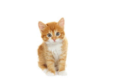 Kitten looking Royalty Free Stock Photography