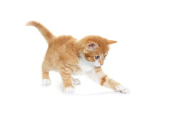 Kitten looking Royalty Free Stock Photo