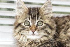 Kitten looking Stock Photography