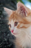 Kitten looks ahead close up Royalty Free Stock Photography