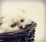 Kitten looks Stock Photography