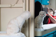 The kitten looks in mirror at a train compartment Stock Image
