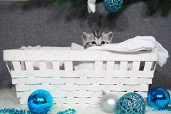 The kitten looks out of the basket. Christmas kitten in the basket. royalty free stock photo