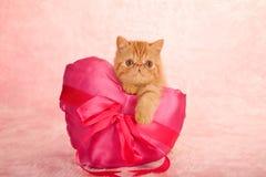 Kitten on love heart cushion. Cute ginger exotic shorthair kitten resting on satin pink love heart cushion, Valentine theme royalty free stock photography
