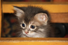 Kitten. Lovely fluffy kitten peeps out from behind the boards Stock Photos