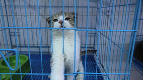 Low eared kitten in cage. Kitten with low ears meowing in cage in pet store stock video footage