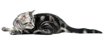 Kitten lying. Silver tabby british kitten hunting isolated in the white background royalty free stock photo
