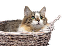 Kitten lying in a basket on a white background close-up Stock Photography