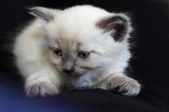 Kitten lying on black background. Kitten with blue eyes lying on black background Royalty Free Stock Photos