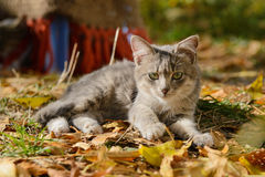 Kitten Lying bonita Imagem de Stock Royalty Free