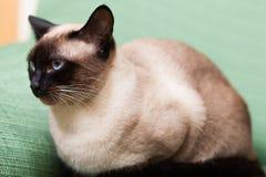 Kitten lying Royalty Free Stock Photo