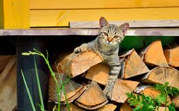Kitten lying on firewood under the house Royalty Free Stock Images