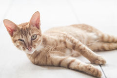 Kitten lying on floor Stock Photography