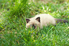 Kitten lying on the grass Royalty Free Stock Photography