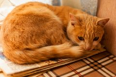 Kitten Lying On The Couch. Golden Cat Close-up. Royalty Free Stock Photo