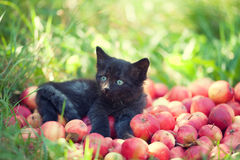 Kitten lying on a pile of red apples Royalty Free Stock Photography