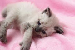 Kitten lying on pink background Royalty Free Stock Image