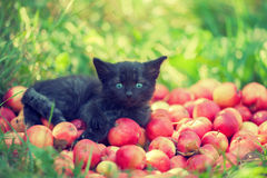 Kitten lying on red apples Stock Photography