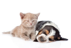 Kitten lying with sleeping basset hound puppy. isolated on white Stock Images