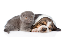 Kitten lying with sleeping basset hound puppy. isolated on white Royalty Free Stock Photo